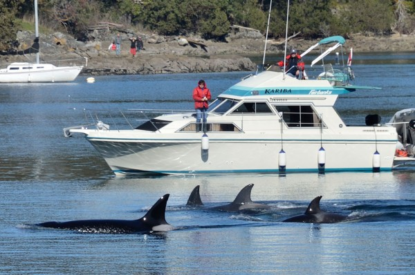 orcas in ganges harbour, saltspring