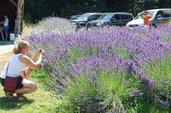 lavender on salt spring studio tour